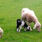 Schafe beim Grasen, Grainbach