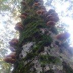 """Bilder von meinen """"Pilz-Ausflügen"""" - alter Baum mit Hallimasch-Befall"""