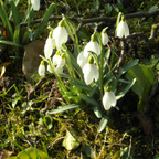 Schneeglöckchen, die eigentlich Frühlingsglöckchen heißen könnten